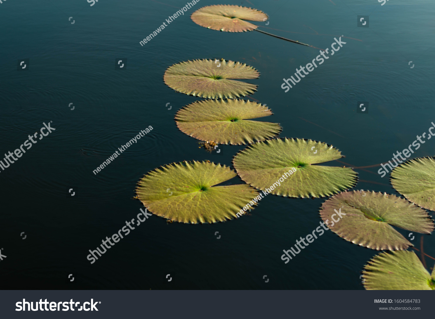 The green lotus leaf on the still water and afternoon sun #1604584783