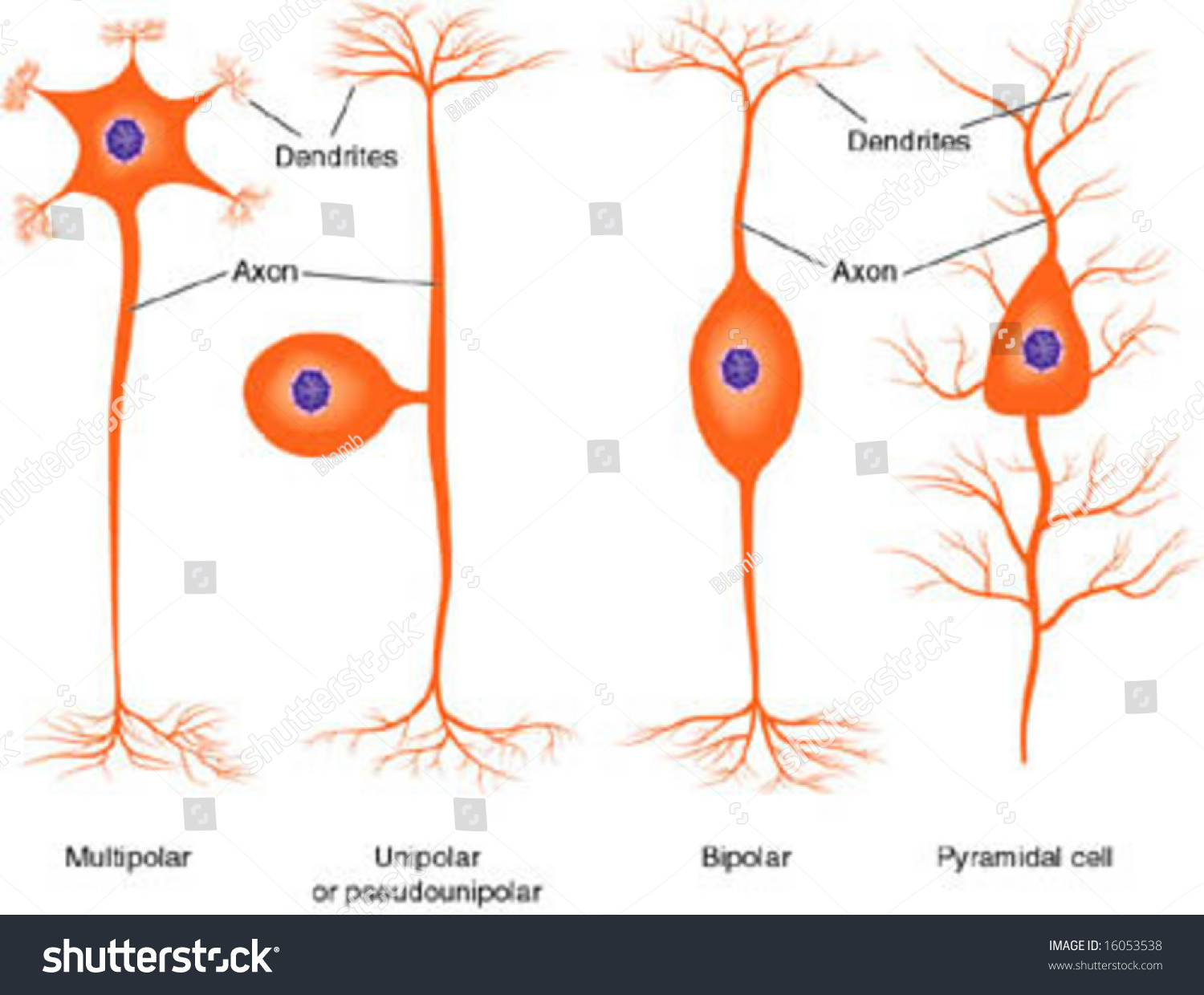 Types of Neurons Clip Art – Clipart Download
