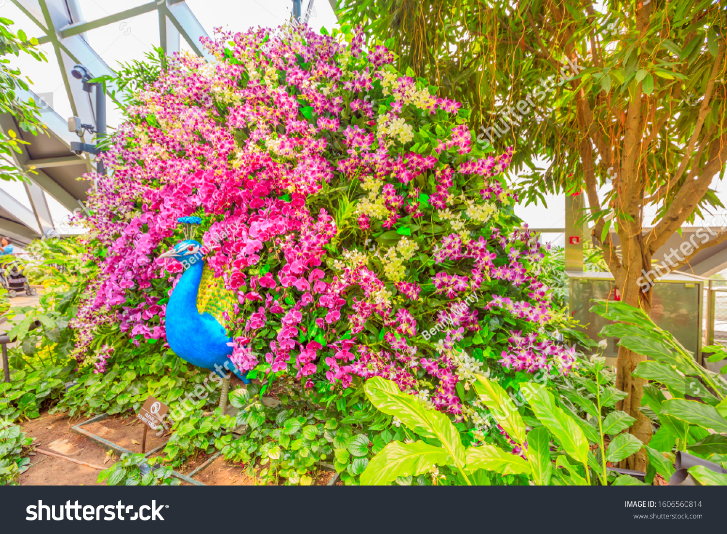 Singapore Aug 8 2019 Peacock Flower Stock Photo Edit Now 1606560814