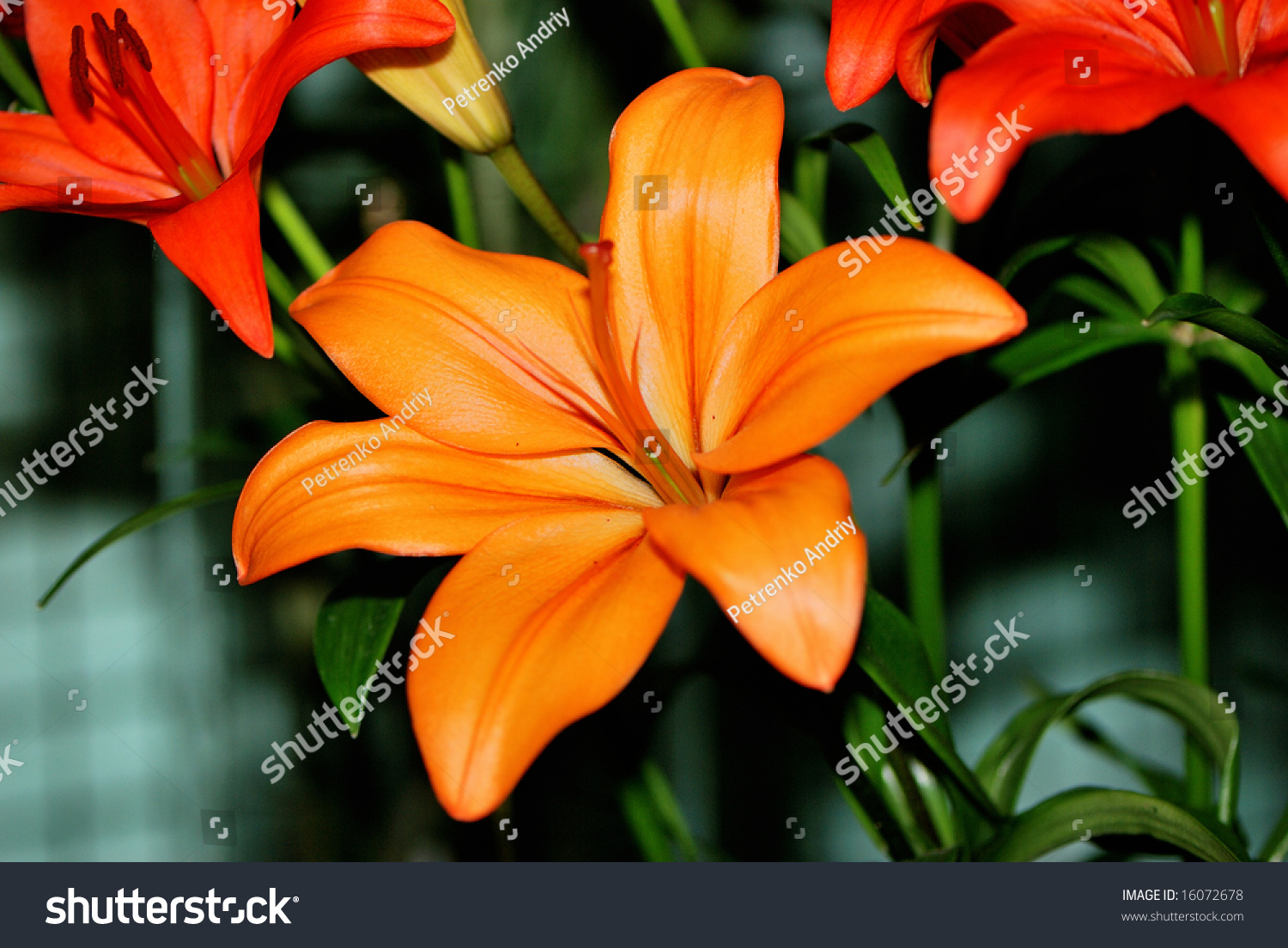 Orange Lily Flower On Colour Background Stock Photo Edit Now