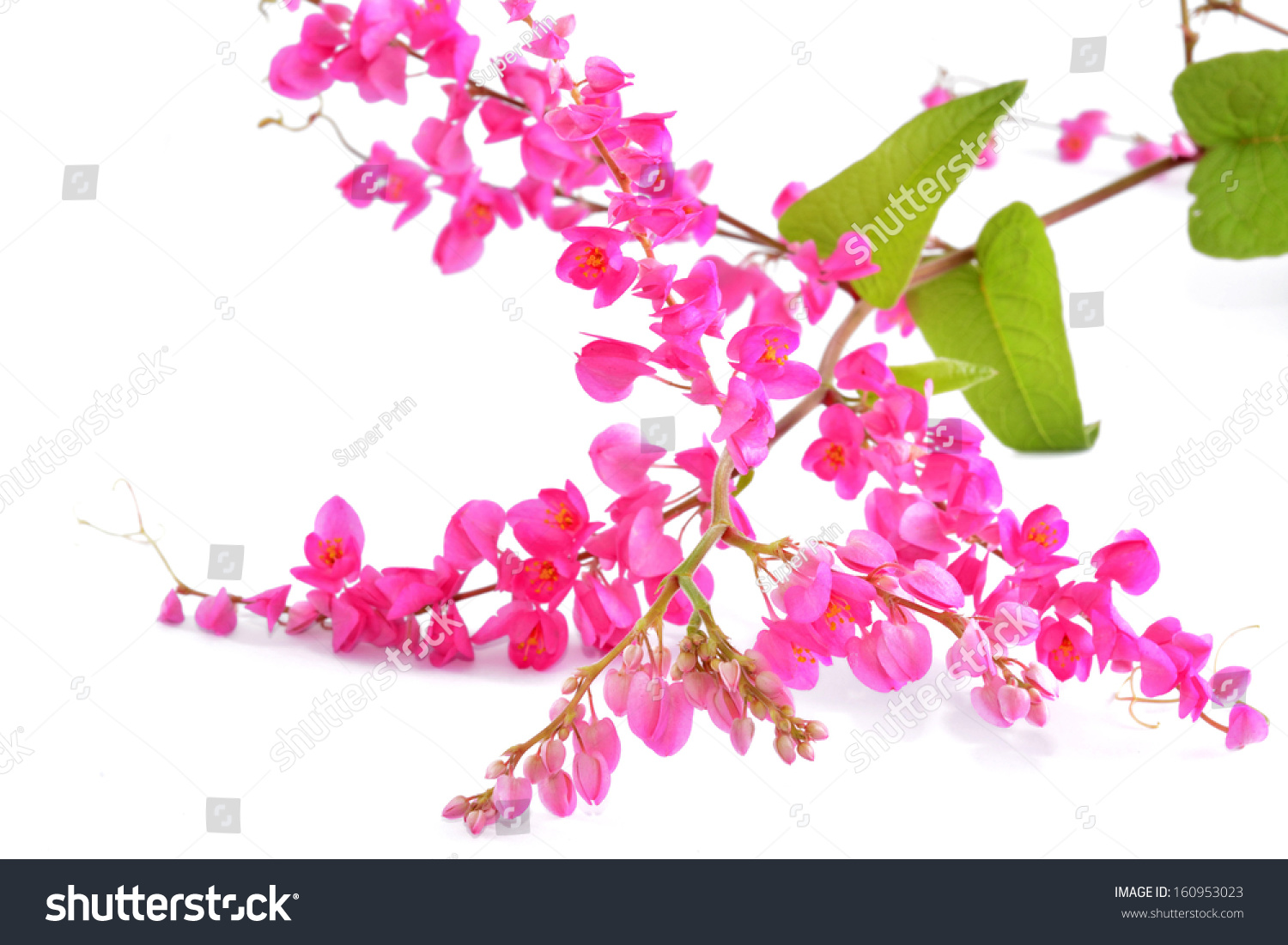 Beautiful Pink Coral Vine Mexican Creeper Stock Photo Royalty Free