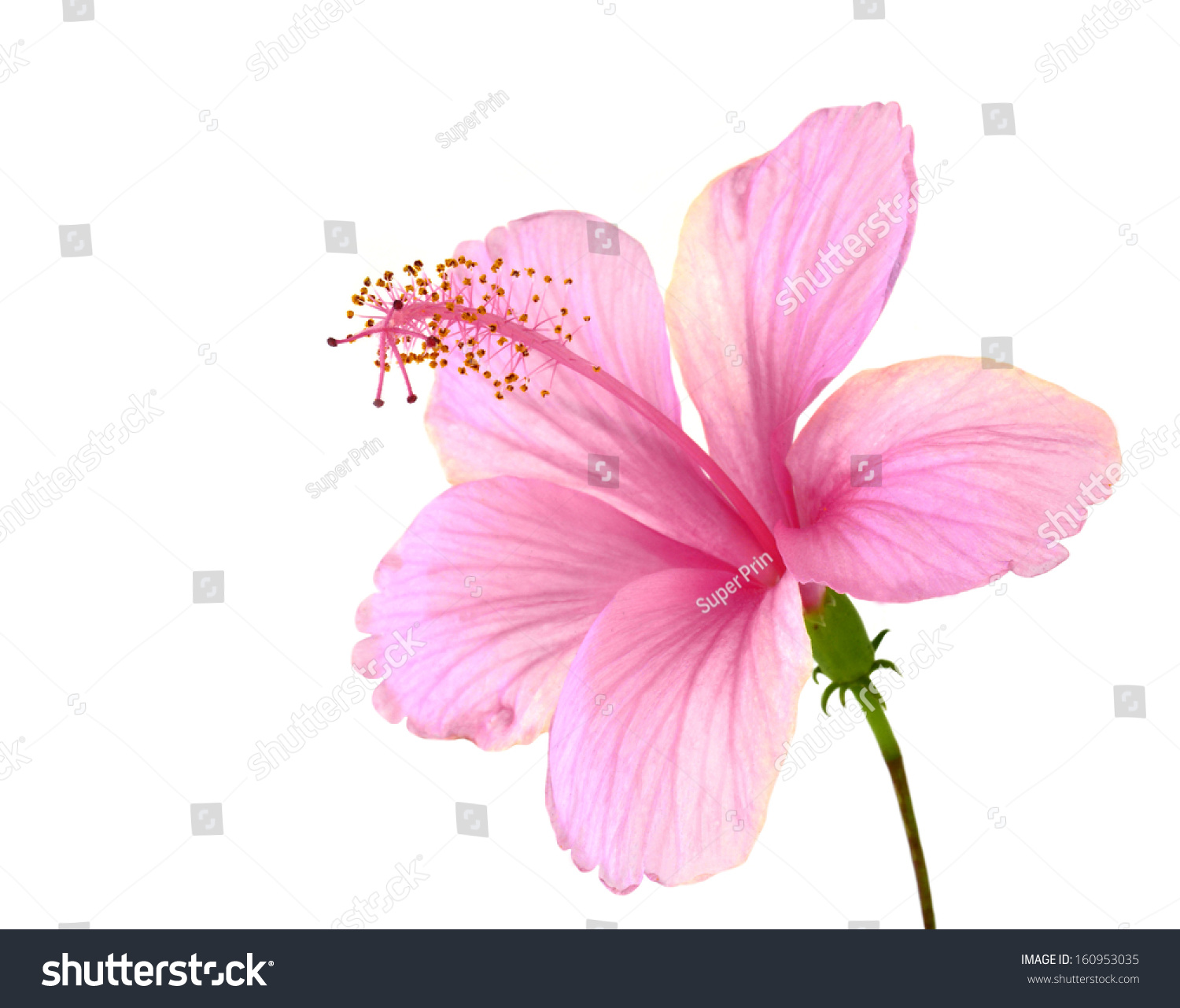Beautiful pink hibiscus flower fully petals stock photo royalty beautiful of pink hibiscus flower with fully petals details isolated on white background izmirmasajfo Gallery