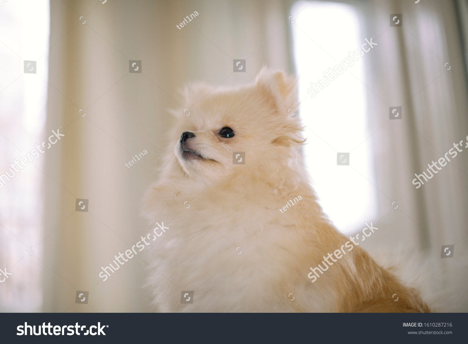 Beige White Baby Chihuahua Pomeranian Puppy Stock Photo Edit Now 1610287216