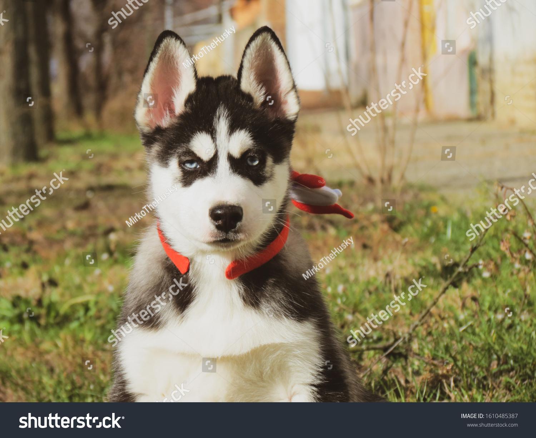 Siberian Husky Puppy Photoshoot Black White Stock Photo Edit Now 1610485387