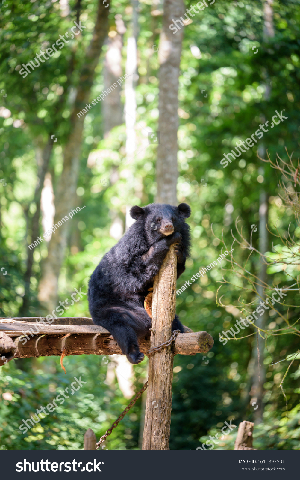 stock-photo-a-young-asiatic-black-bear-o