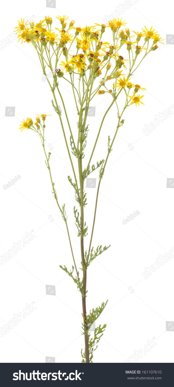 Yellow Single Flower Senecio Jacobaea On White Background Ez Canvas