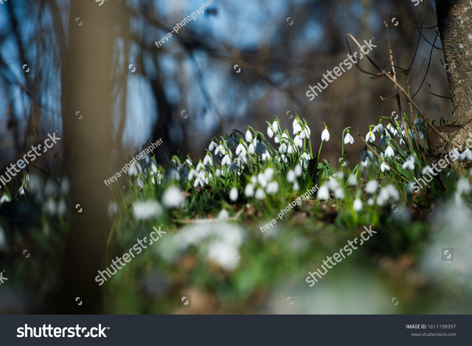 Snowdrop or common snowdrop (Galanthus nivalis) flowers.Snowdrops after the snow has melted. In the forest in the wild in spring snowdrops bloom. #1611198997