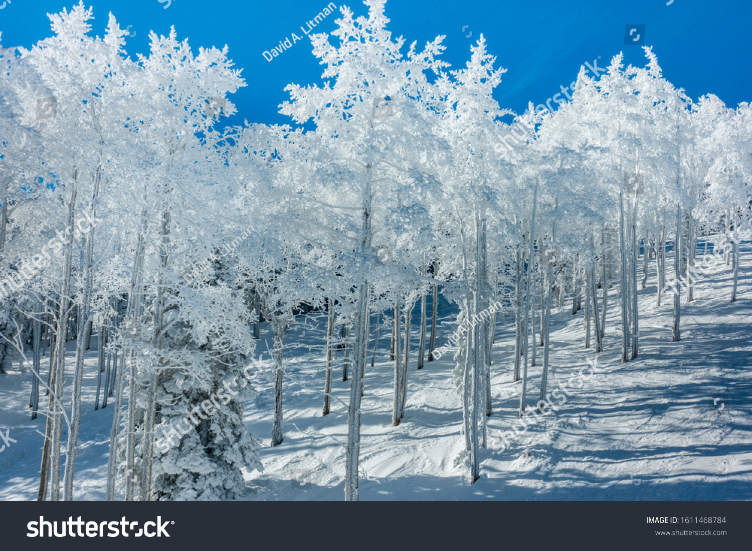 The ski slopes of Steamboat Springs ski resort, on Mount Werner in the Rocky Mountins of Colorado, are lined by frosty snow covered Aspen and Pine trees during a snowy winter season.