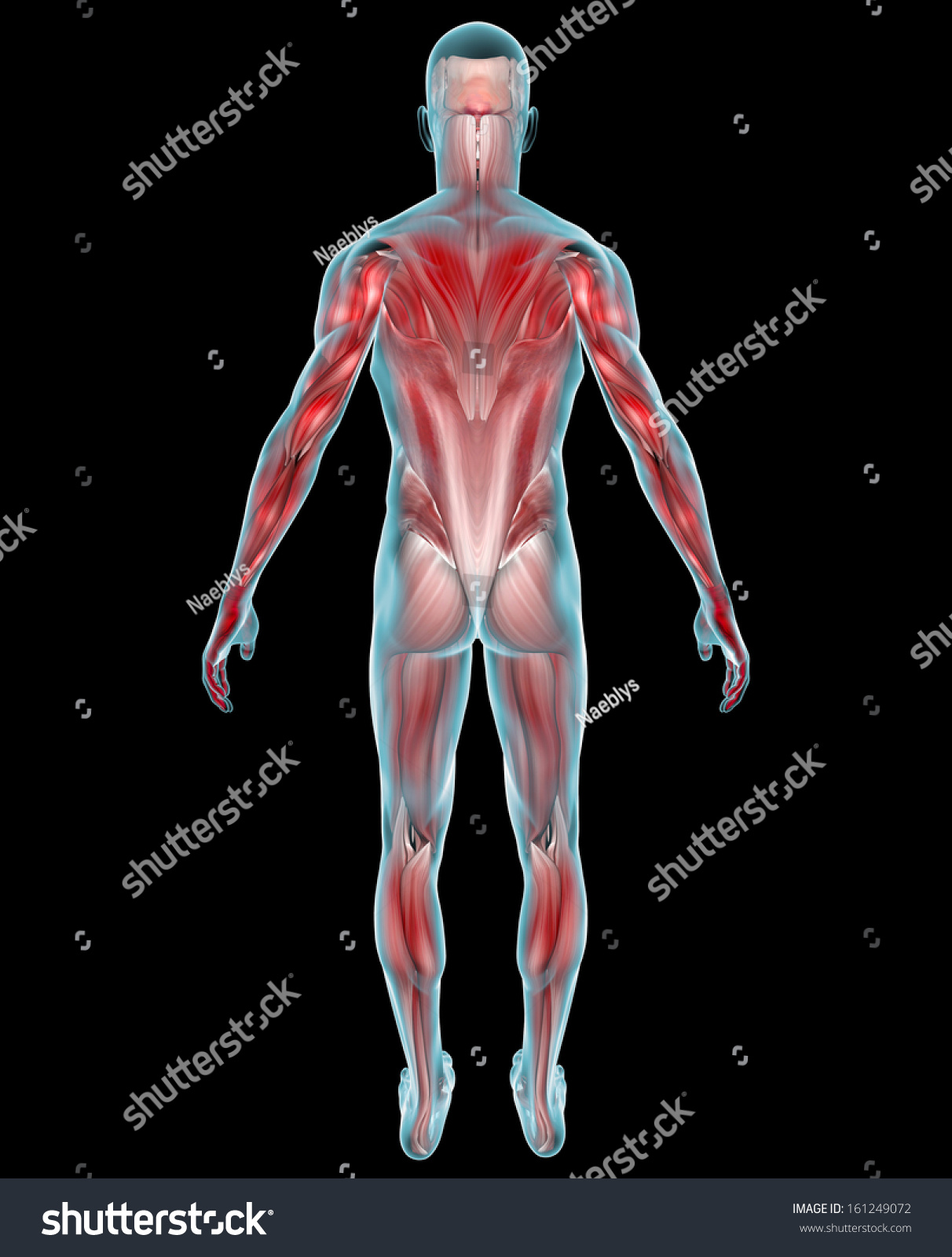 Man Muscles Human Body Xray Back Stock Illustration 161249072 ...