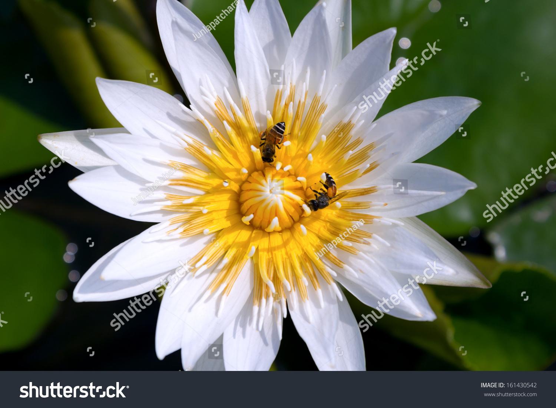 White Lotus Flower Ez Canvas