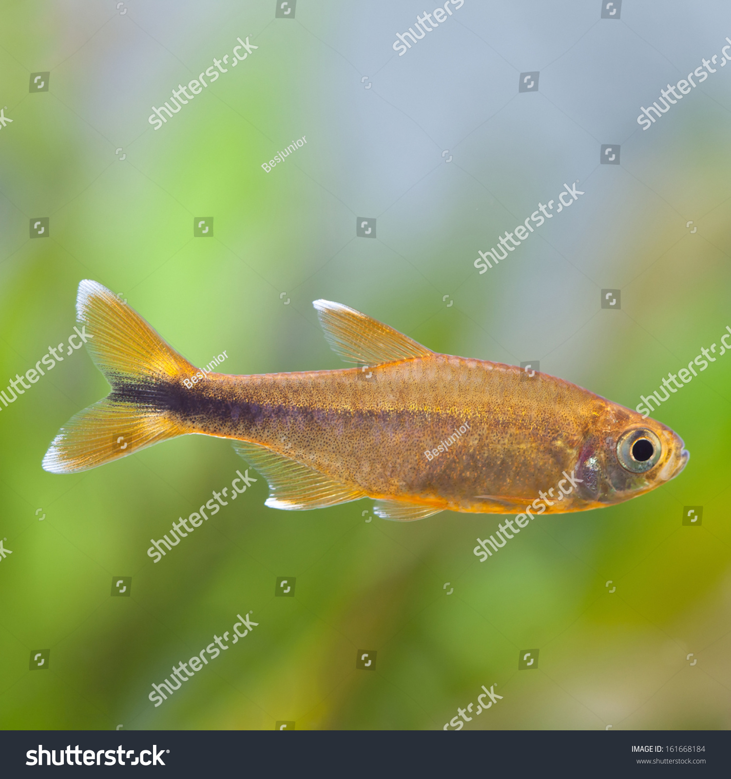 Gold Color Freshwater Aquarium Fish Silver Stock Photo (Royalty Free ...