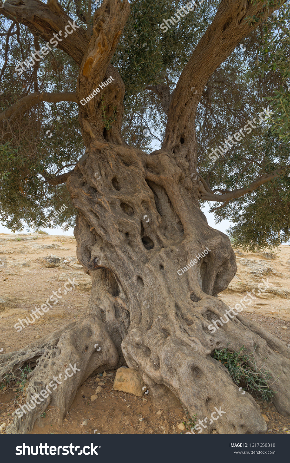 Old olive tree (Olea europaea) on the archaeological site of the Valley of the Temples in Agrigento, Sicily, Italy. The age of this tree is many centuries and could be 1,000 years old.