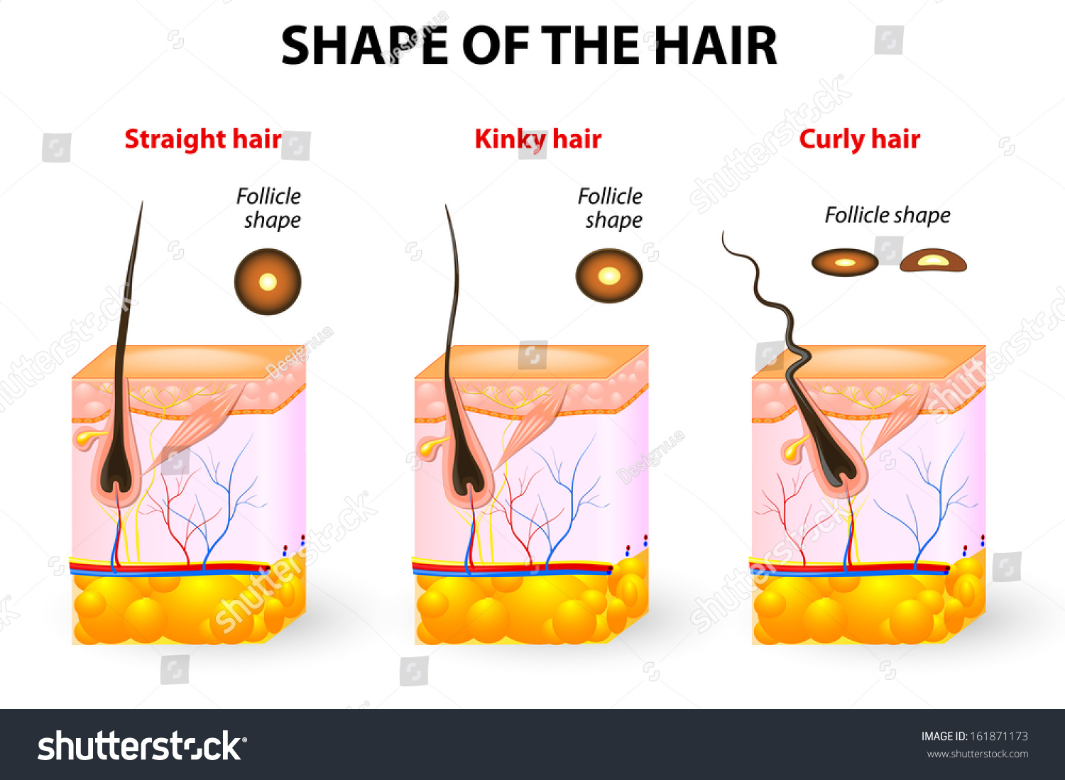 Types Hair Cross Section Different Hair Stock Vector