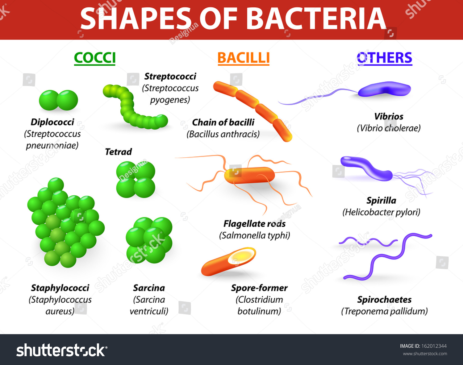 Types bacteria bacteria classified into 5 stock illustration types of bacteria bacteria are classified into 5 groups according to their basic shapes ccuart Images