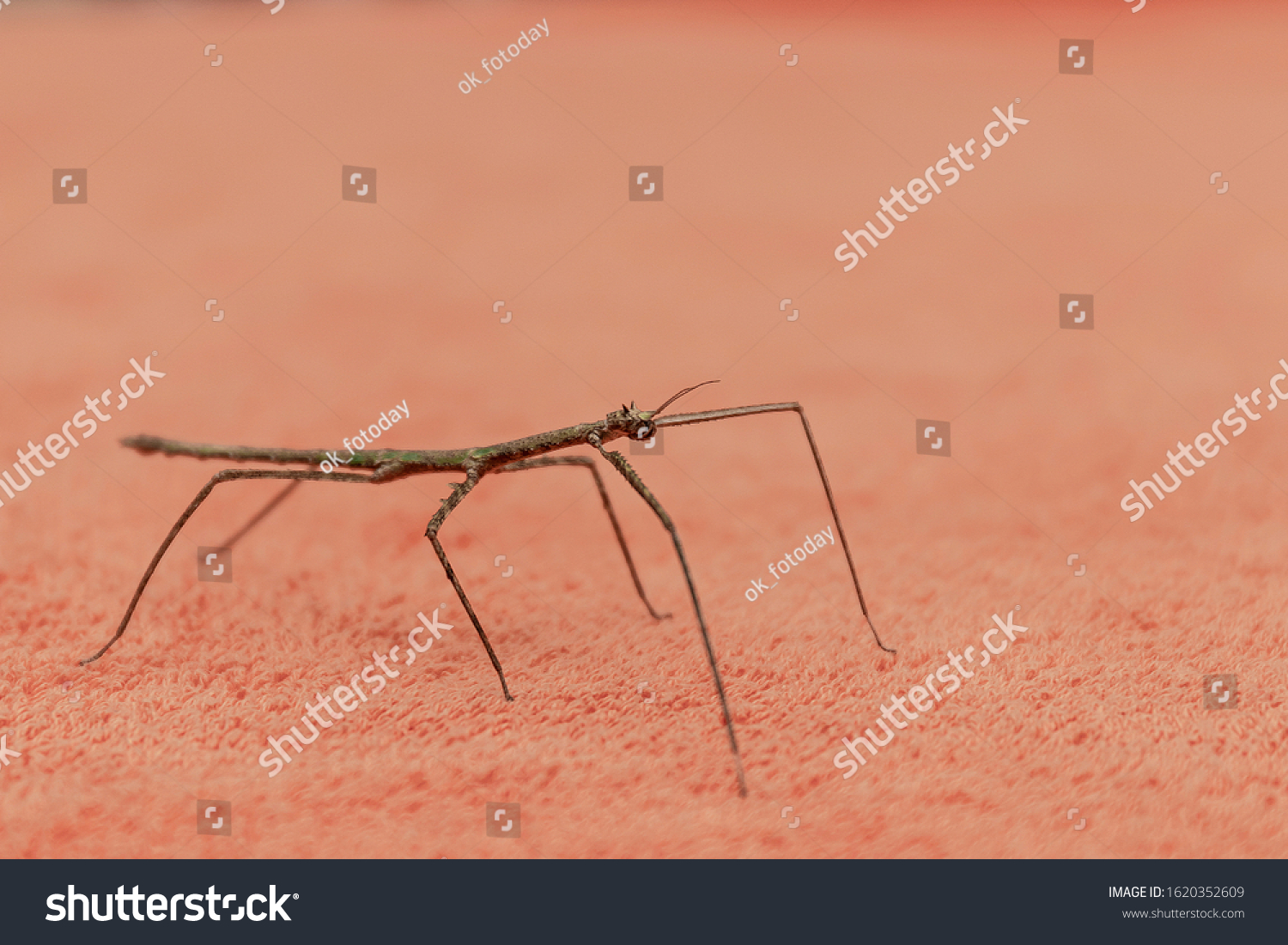 stock-photo-a-stick-stick-latin-phasmato