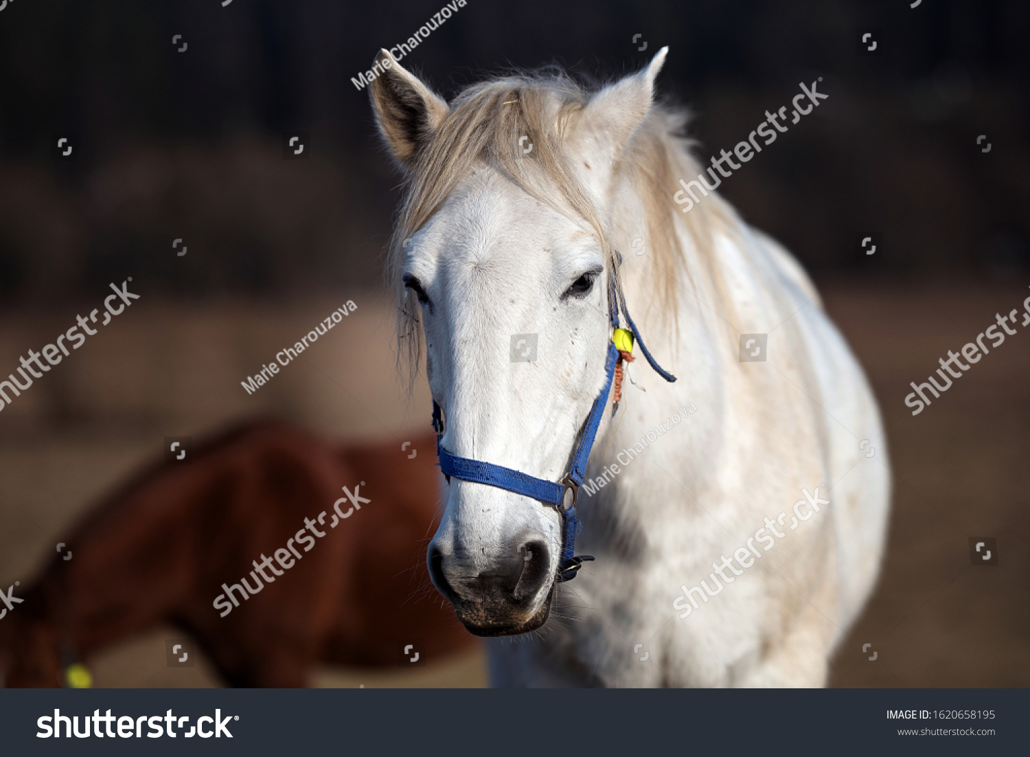 Details White Beautiful Horse Head Stock Photo Edit Now 1620658195