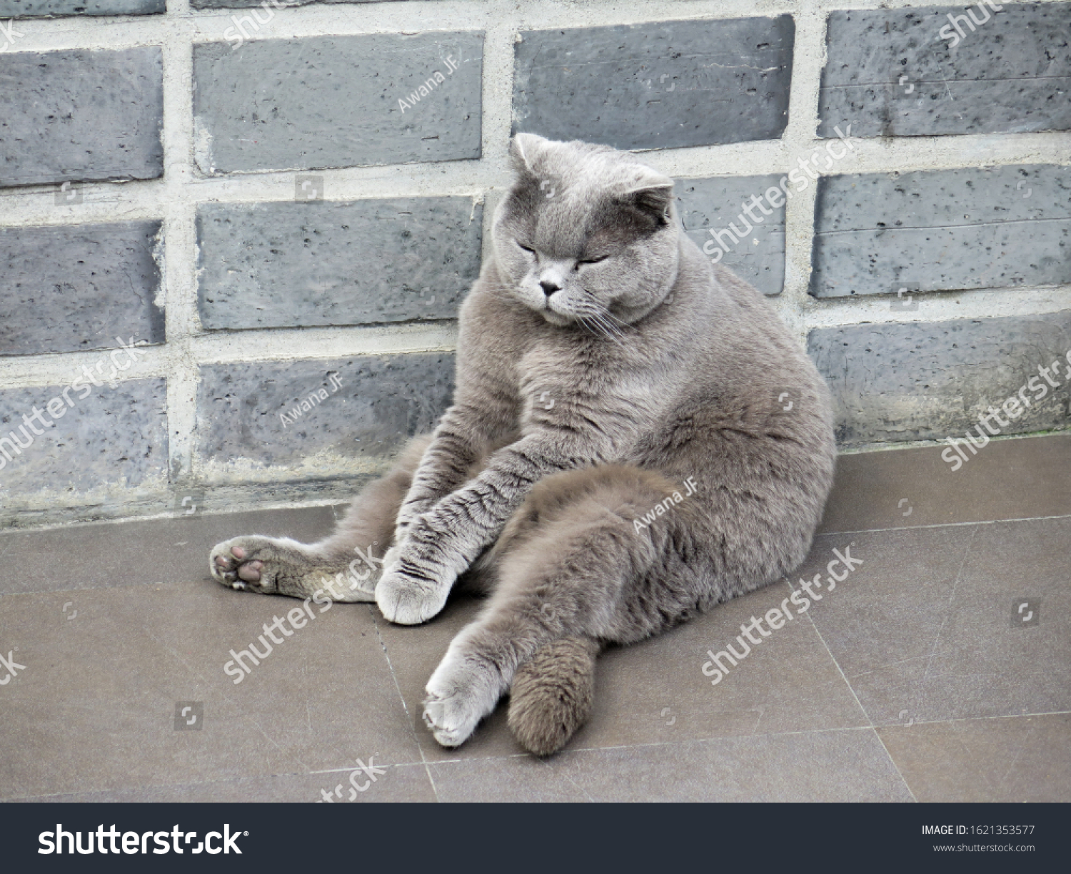 stock-photo-cute-grey-cat-sitting-manwis