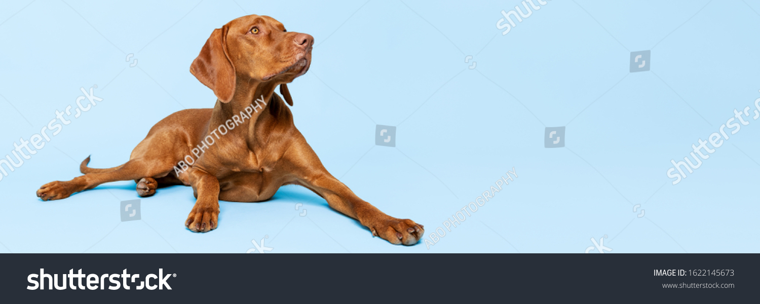 Beautiful hungarian vizsla dog full body studio portrait. Dog lying down and looking up over pastel blue background. Family dog banner. #1622145673