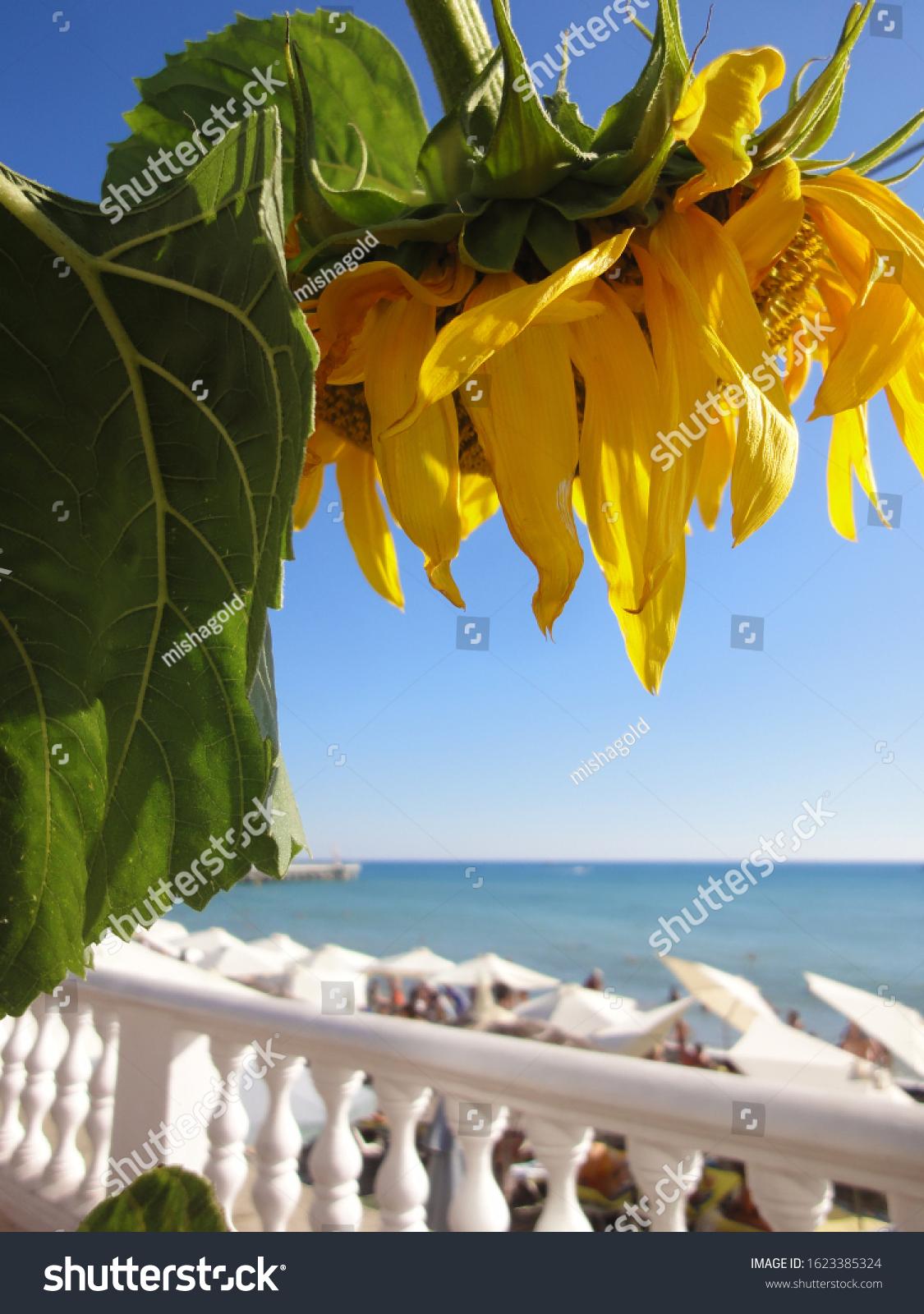 Succulent Sunflower Flower On Background Embankment Stock Photo Edit Now 1623385324