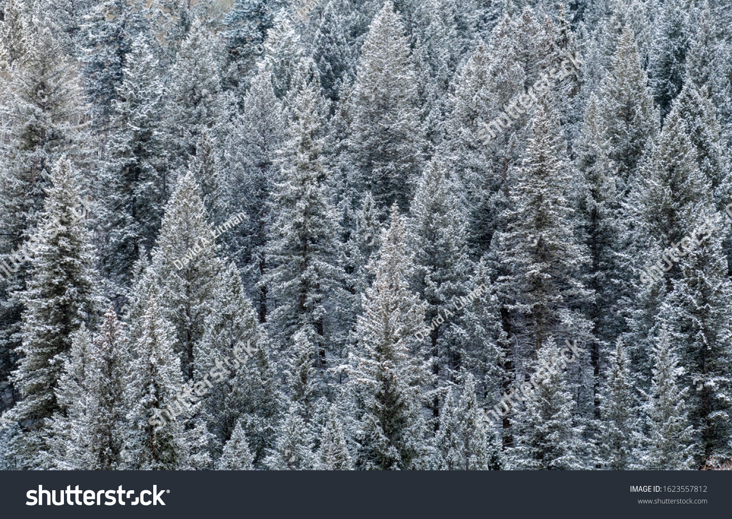 Aerial view of snow covered pine trees at the Aspen Snowmass ski resort in the Rocky Mountains of Colorado.