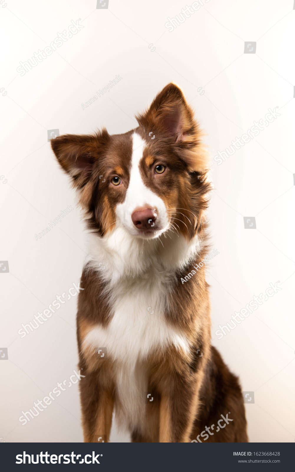 Adorable Chocolate Border Collie Puppy On Stock Photo Edit Now 1623668428
