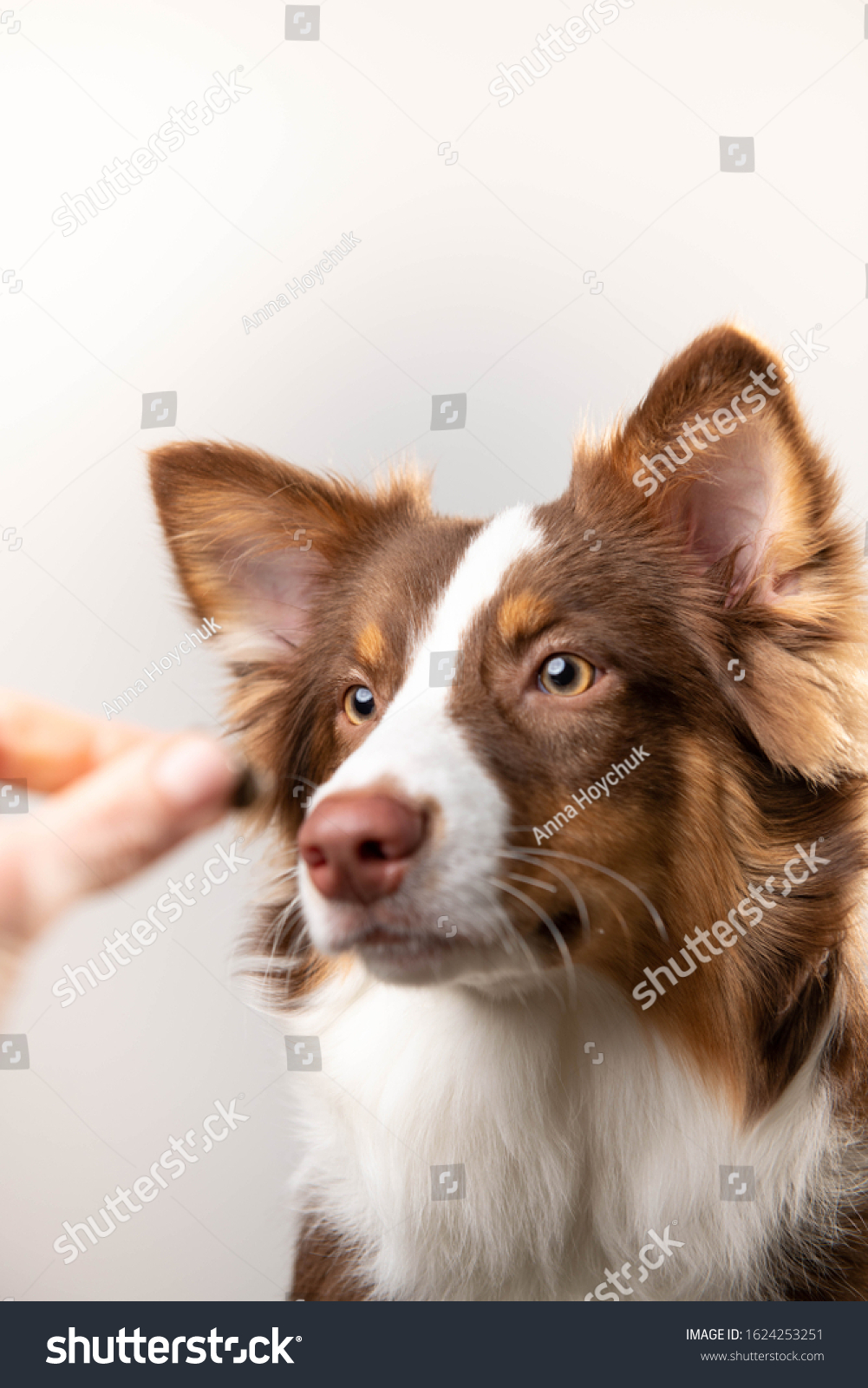 Adorable Chocolate Border Collie Puppy Being Stock Photo Edit Now 1624253251