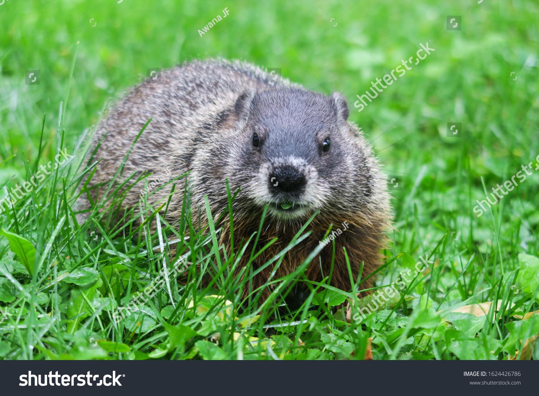 stock-photo-wild-groundhog-in-its-natura