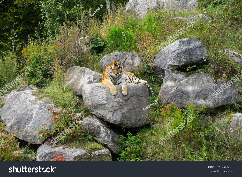Siberian tiger sitting on a rock