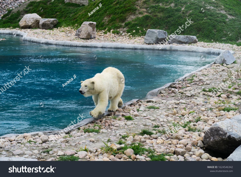 White polar bear walking along the edge of a pool