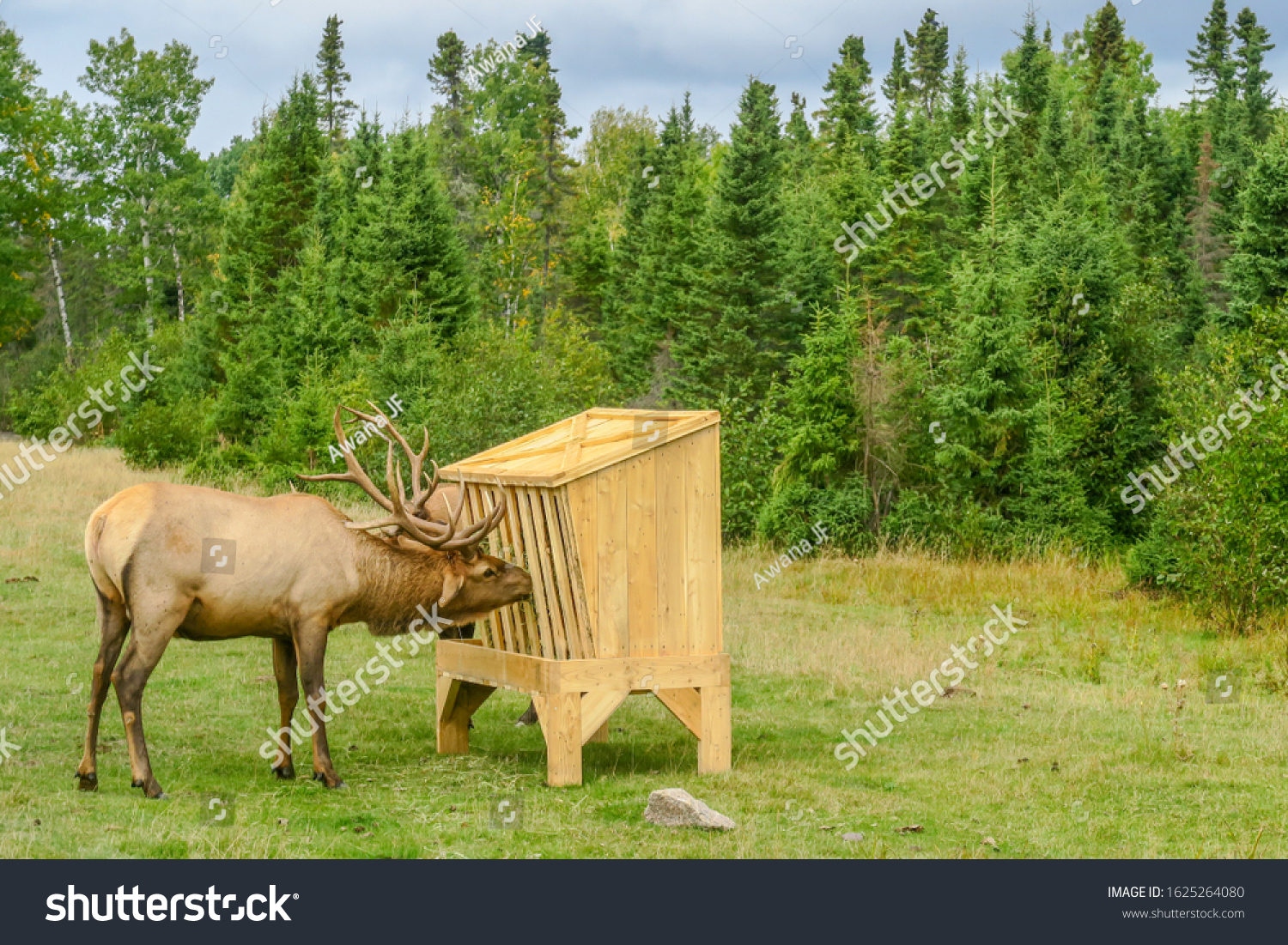 View of an elk eating from a hay feeder