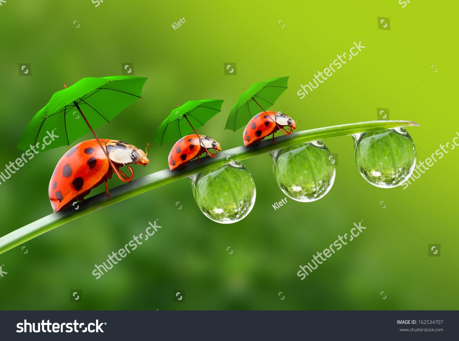 natural background rainy season three ladybugs stock photo edit now