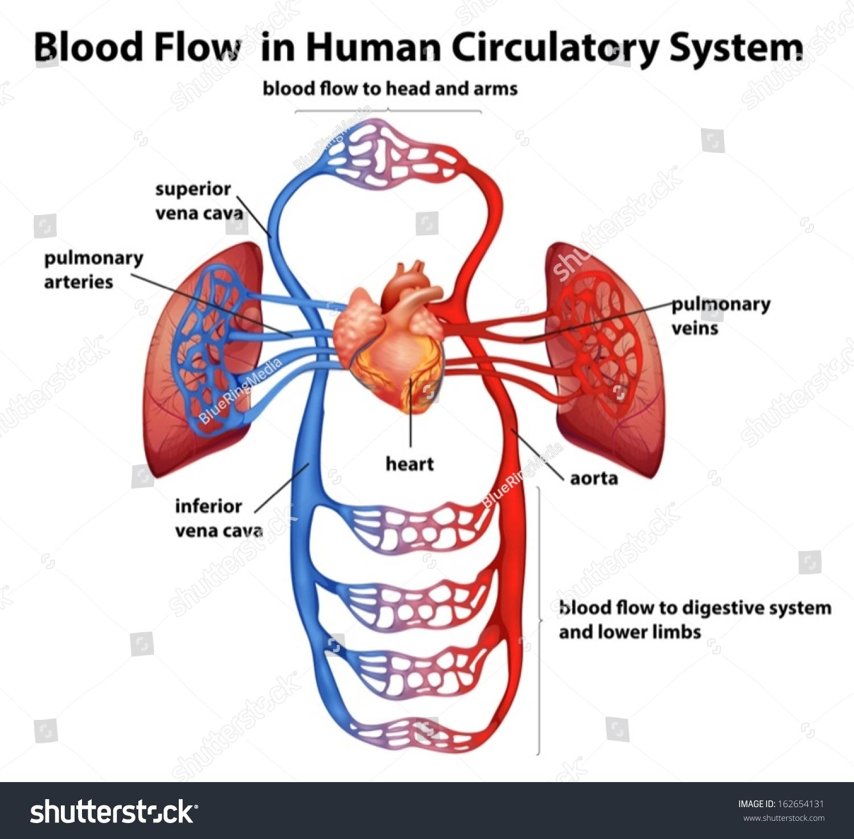 illustration blood flow human circulatory system stock vector