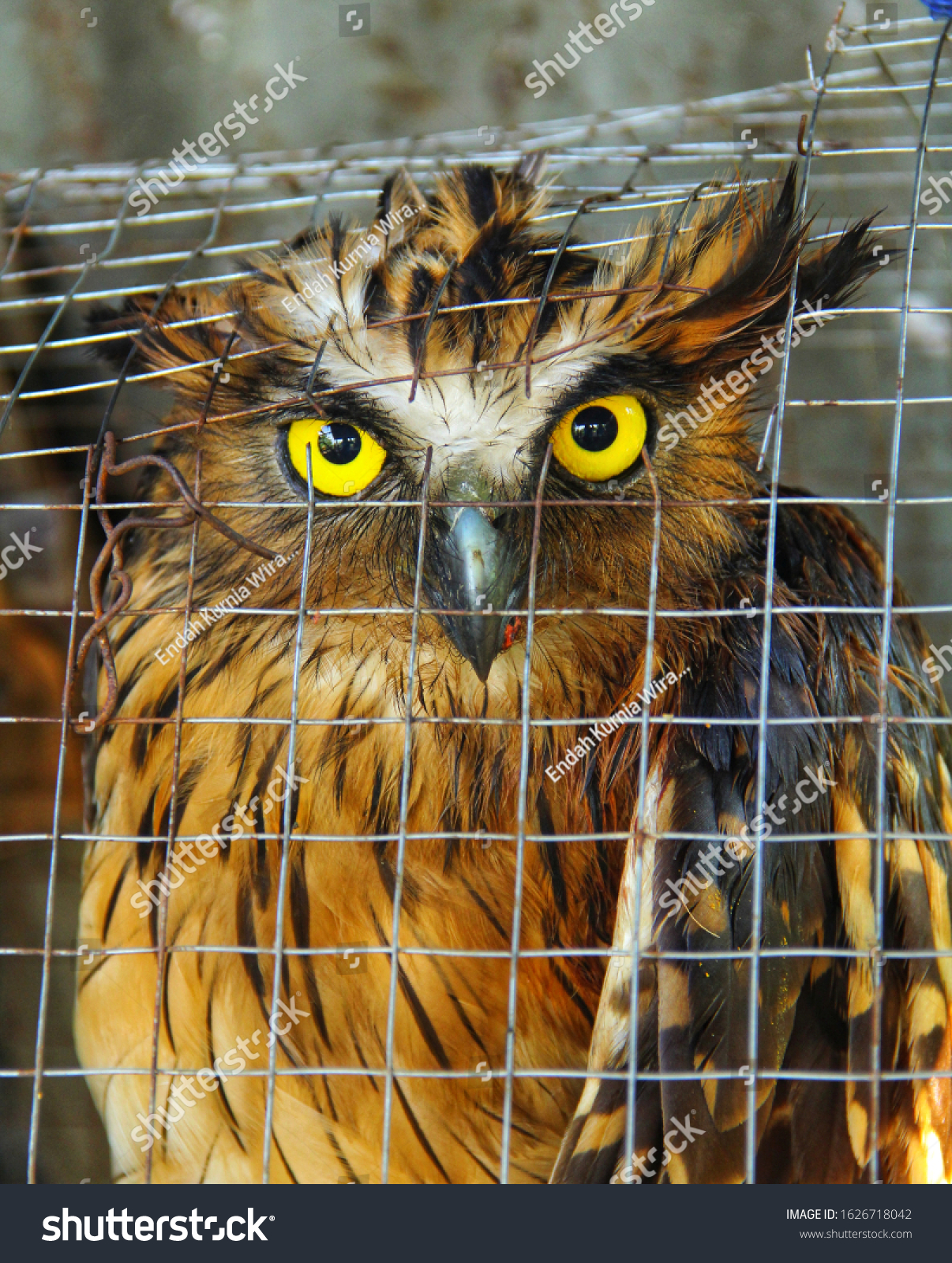 stock-photo-buffy-fish-owl-in-the-cage-1