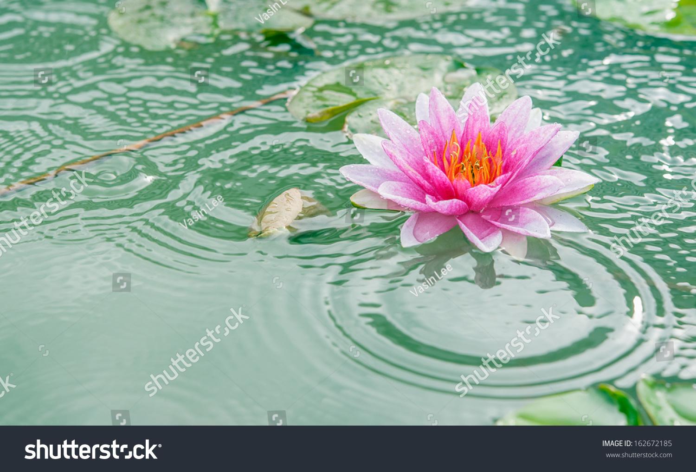 Beautiful pink waterlily lotus flower pond stock photo edit now a beautiful pink waterlily or lotus flower in pond with rain drop mightylinksfo