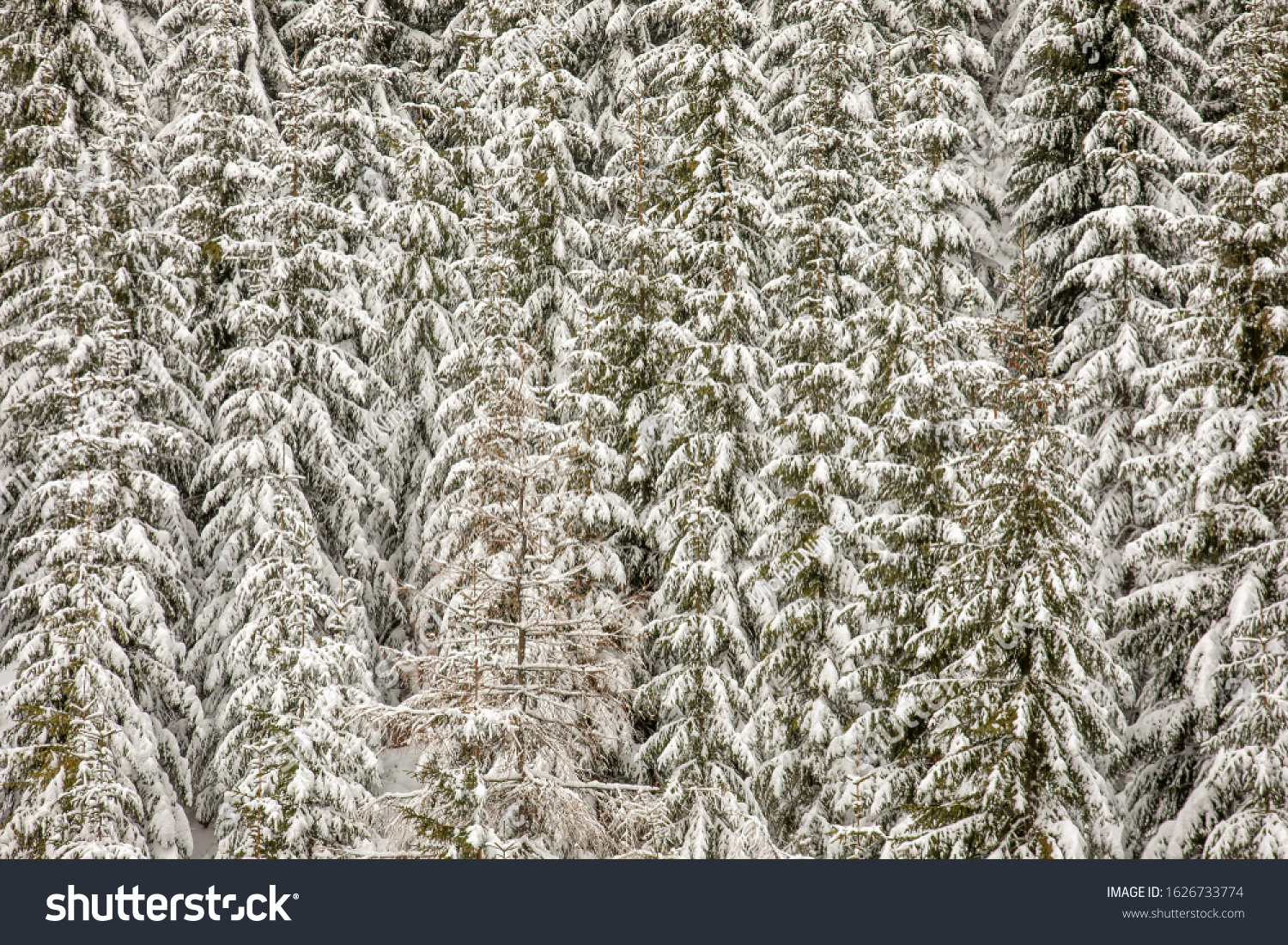 snowy forest nature backround nice texture trees