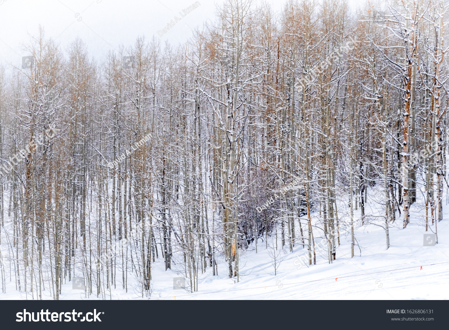 Snow covered aspen trees line the ski slopes of the Aspen Snowmass ski resort, in the Rocky Mountains of Colorado, on a snowy winter day.
