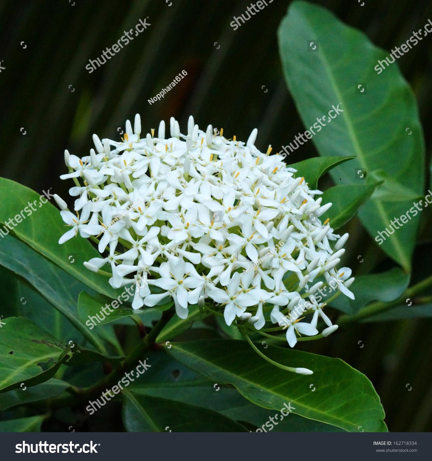 Very Fragrant White Flowers Name Siamese Stock Photo (Edit Now ...