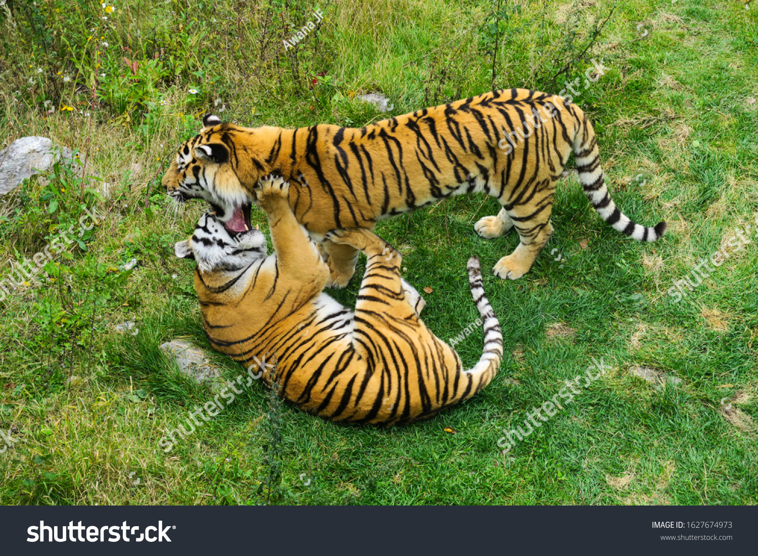 Two siberian tigers playing together
