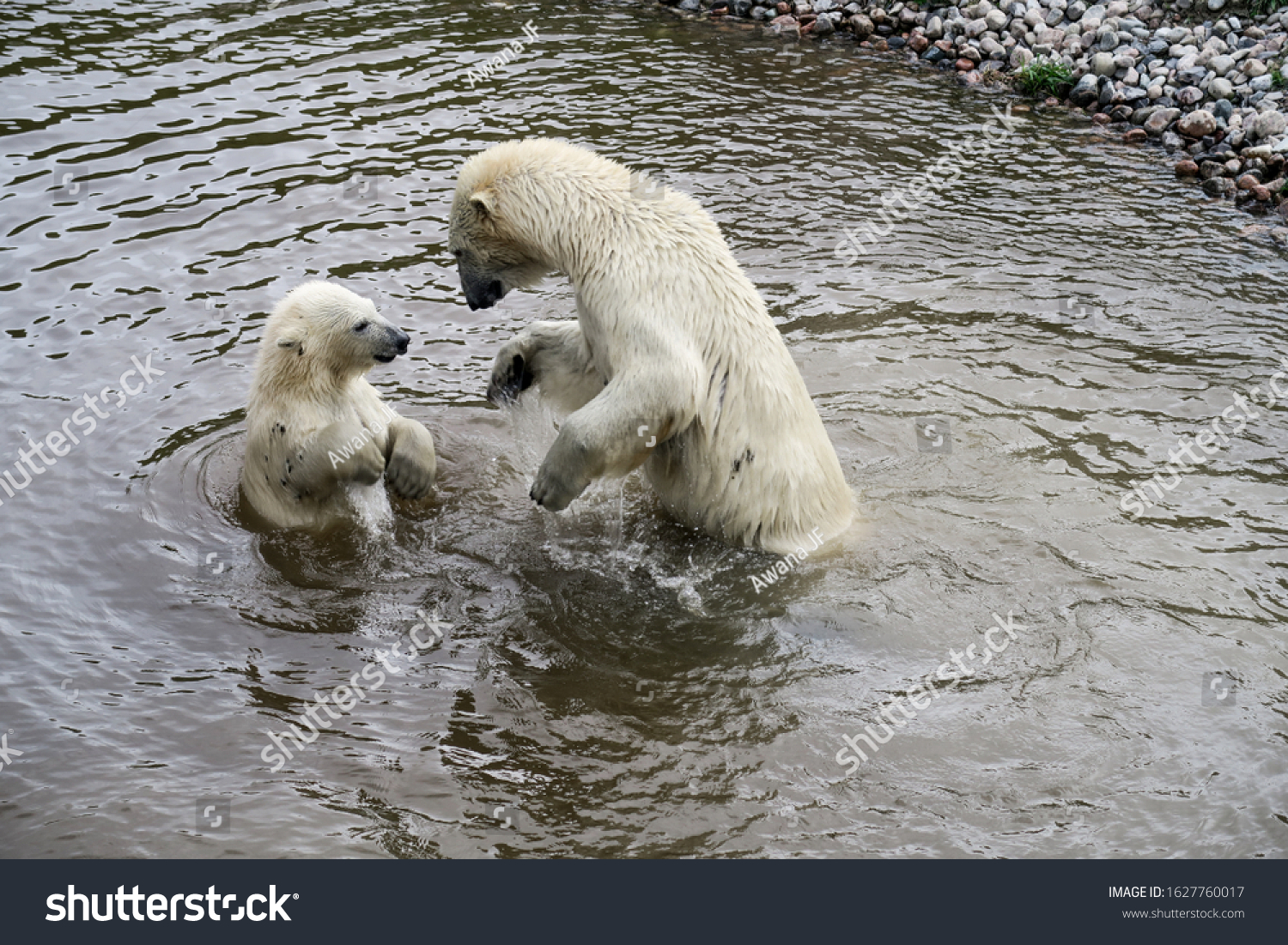 Mama polar bear playing in water with her cub