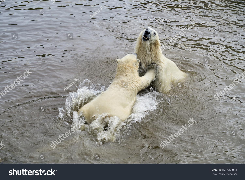 stock-photo-mama-polar-bear-playing-in-w