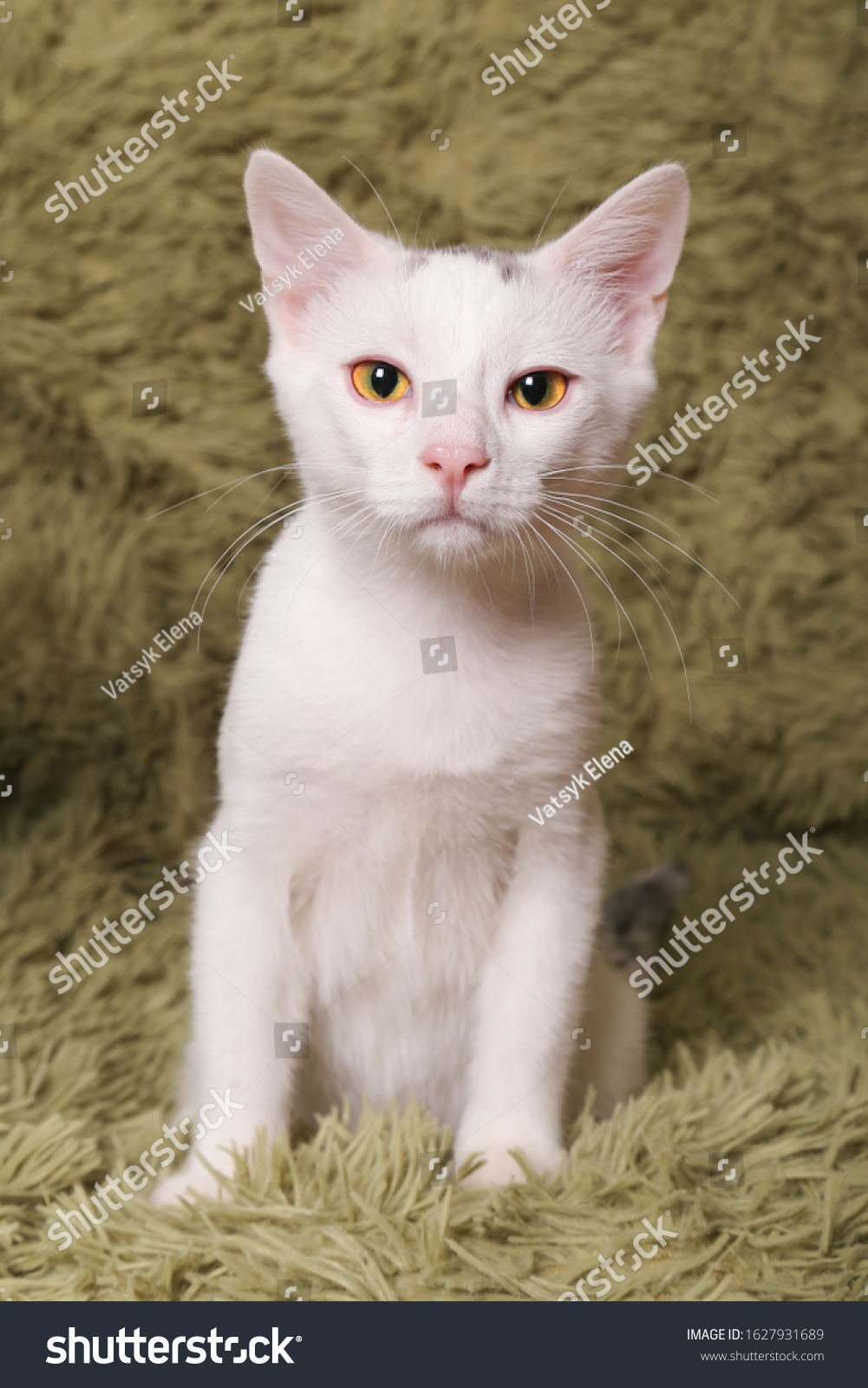 Beautiful White Cat Cute Kitten Sitting Stock Photo Edit Now 1627931689