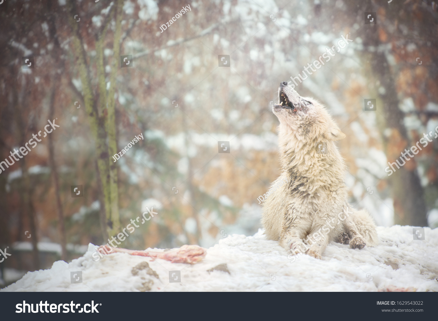 Howling arctic wolf with bone lying on snowy ground. Also known as the white wolf or polar wolf.