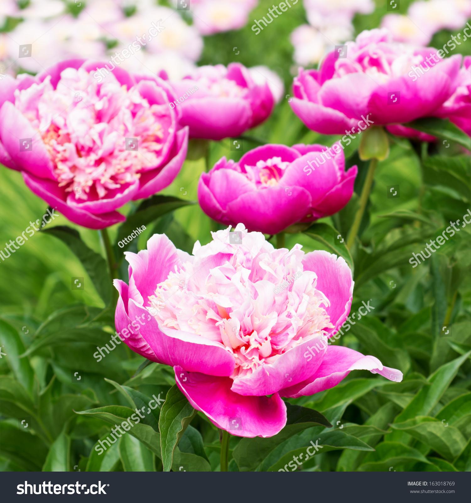 Pink peony flowers garden stock photo 163018769 shutterstock pink peony flowers in the garden dhlflorist Images