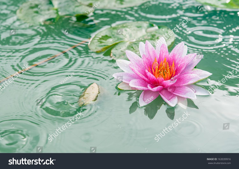 Beautiful pink waterlily lotus flower pond stock photo royalty free a beautiful pink waterlily or lotus flower in pond with rain drop izmirmasajfo Gallery