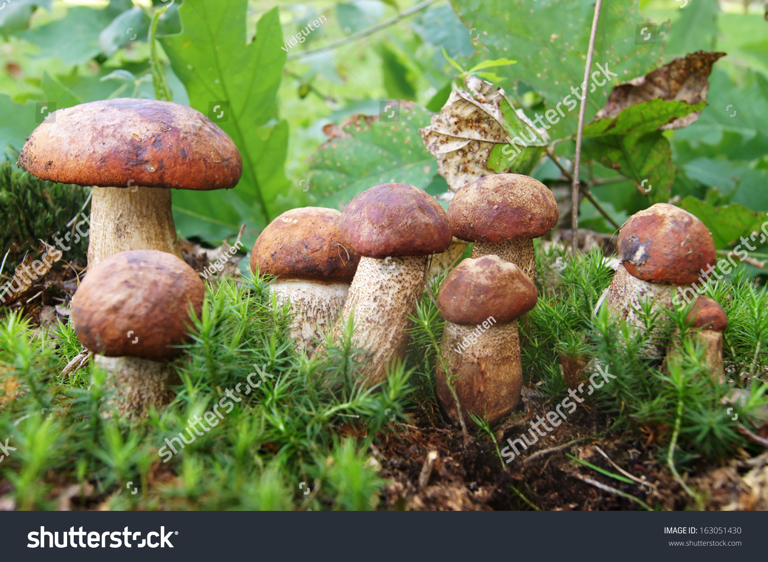 mushrooms on moss stock photo 163051430 shutterstock. Black Bedroom Furniture Sets. Home Design Ideas