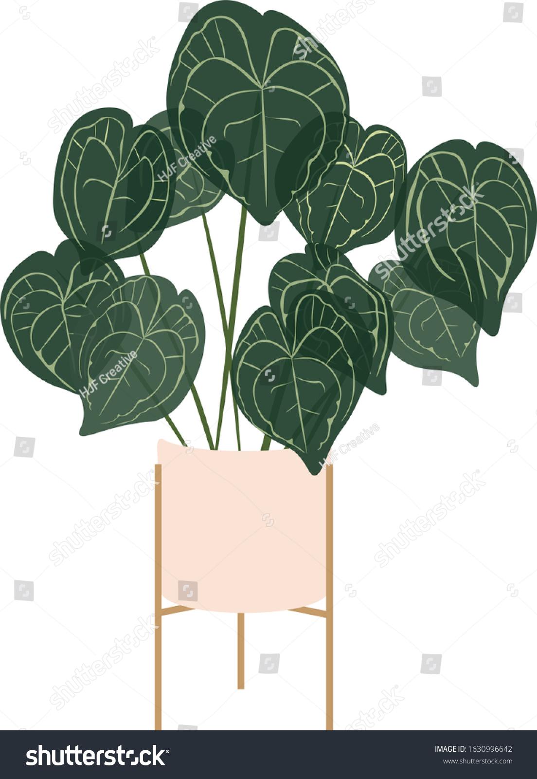 Alocasia Black Velvet Alocasia Reginula Stand Stock Illustration 1630996642