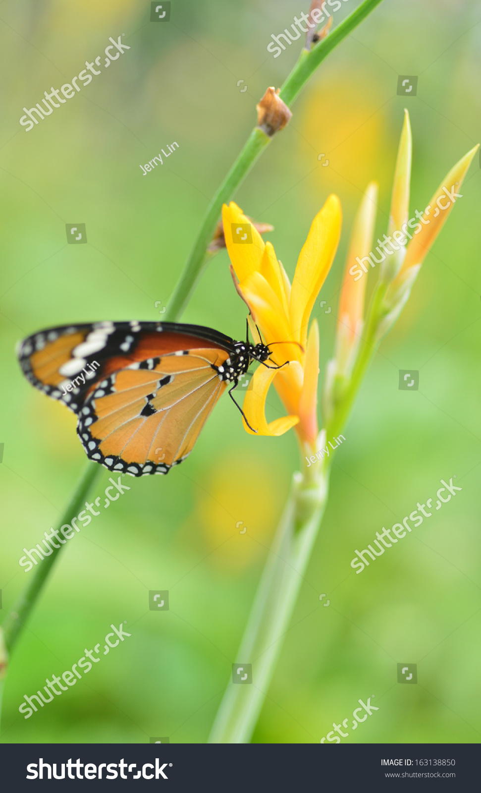 Yellow Canna Flower Butterfly Stock Photo Edit Now 163138850
