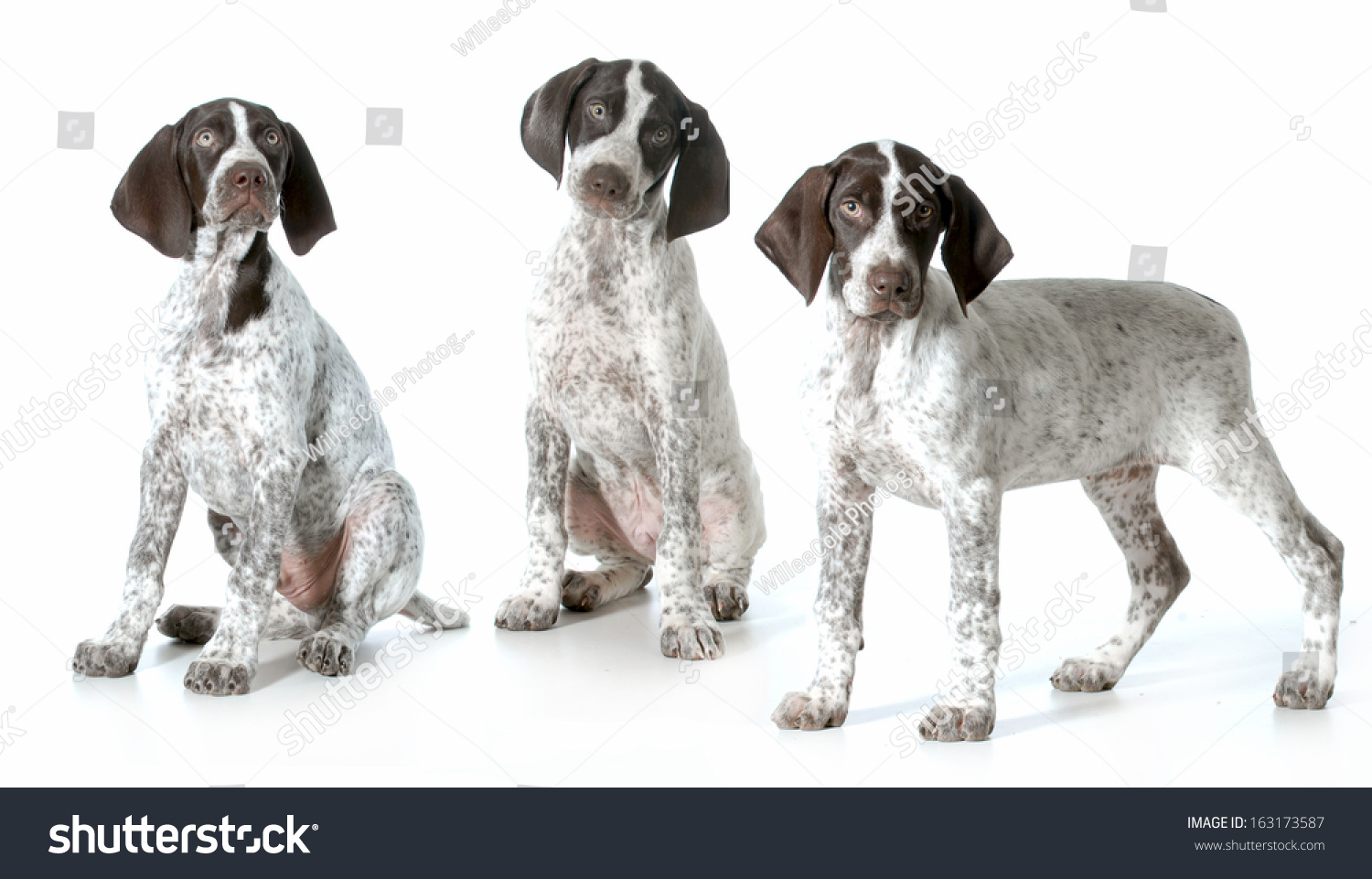 Contemporary German Wirehaired Pointer Rescue Frieze - Electrical ...