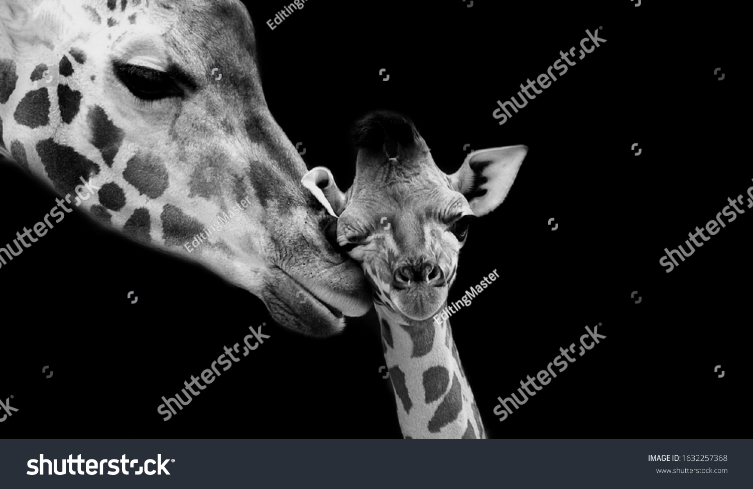 Mom And Baby Giraffe Face Black Background #1632257368