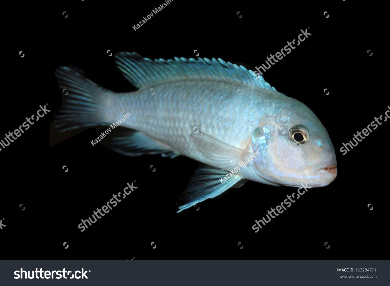 Blue cichlid freshwater aquarium fish stock photo for Blue freshwater fish